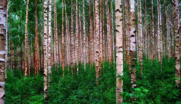 Arvores na floresta