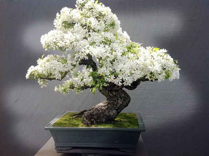 Bonsai de flores brancas