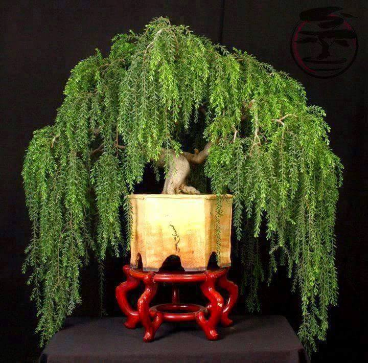 Bonsai Weeping Willow