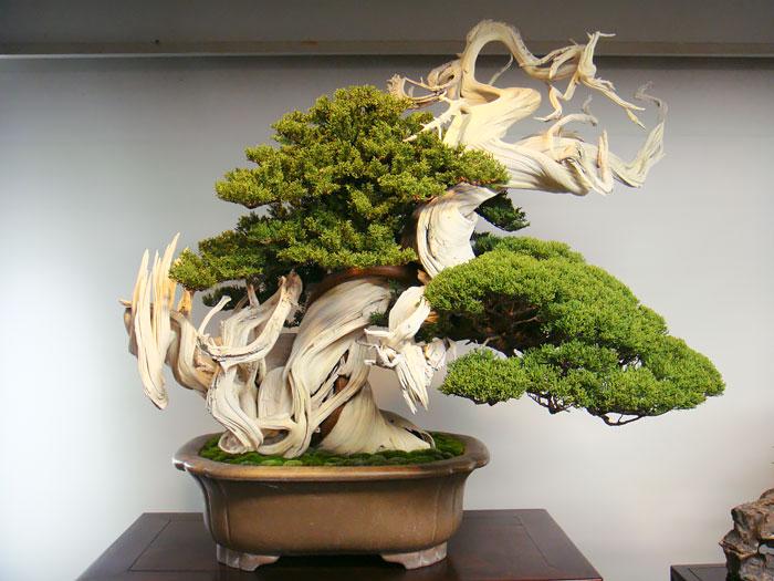 Bonsai junipeiro japonês
