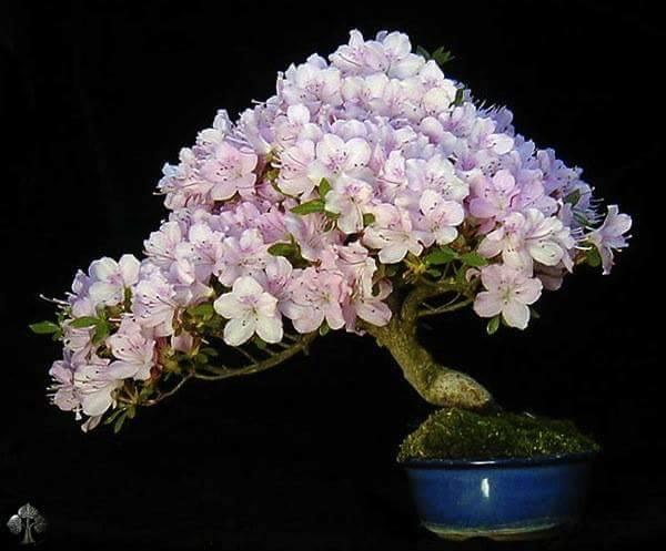 Flor de cerejeira - Sakura