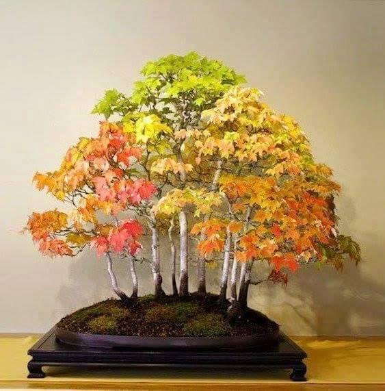 Bonsai no outono