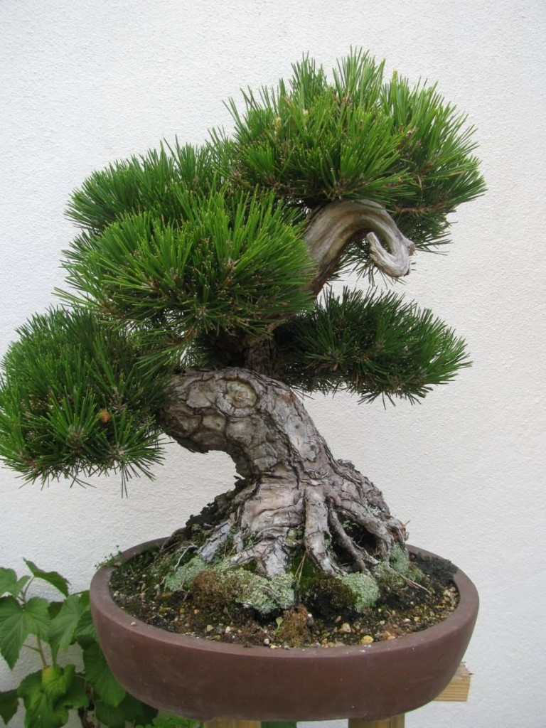 Bonsai Pinheiro japonês