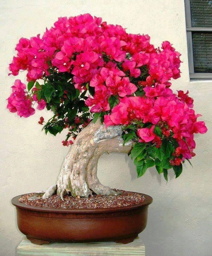 Primavera Rosa