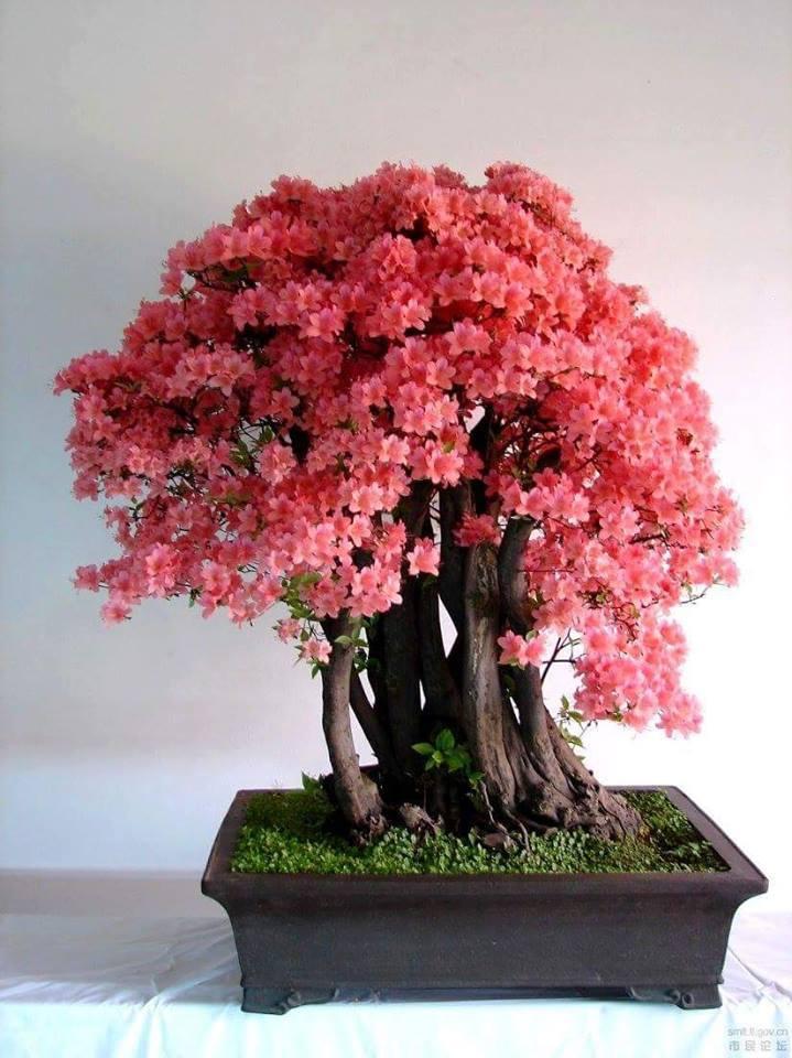 Flor de cerejeira- Sakura