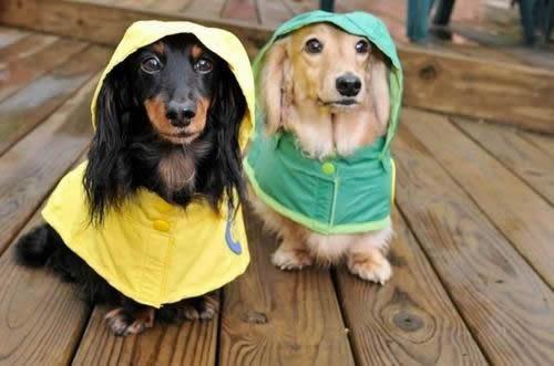 Seu cãozinho protegido da chuva.