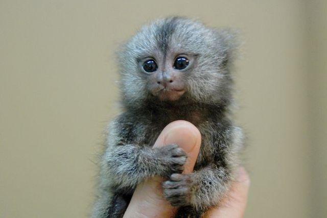 Sagui pigmeu ou macaco polegar