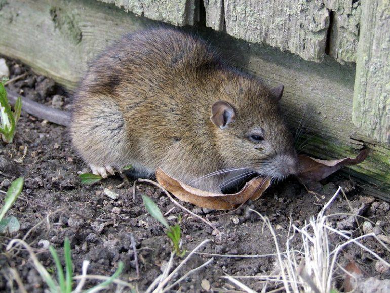 O rato pode não ser tão ruim quanto todos pensam.