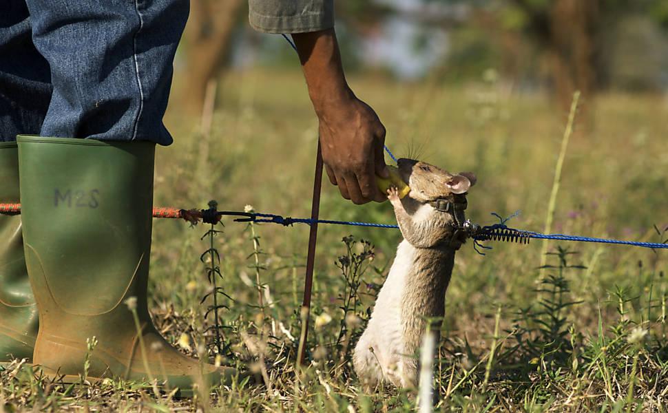 Rato recebendo recompensa por encontrar uma mina.
