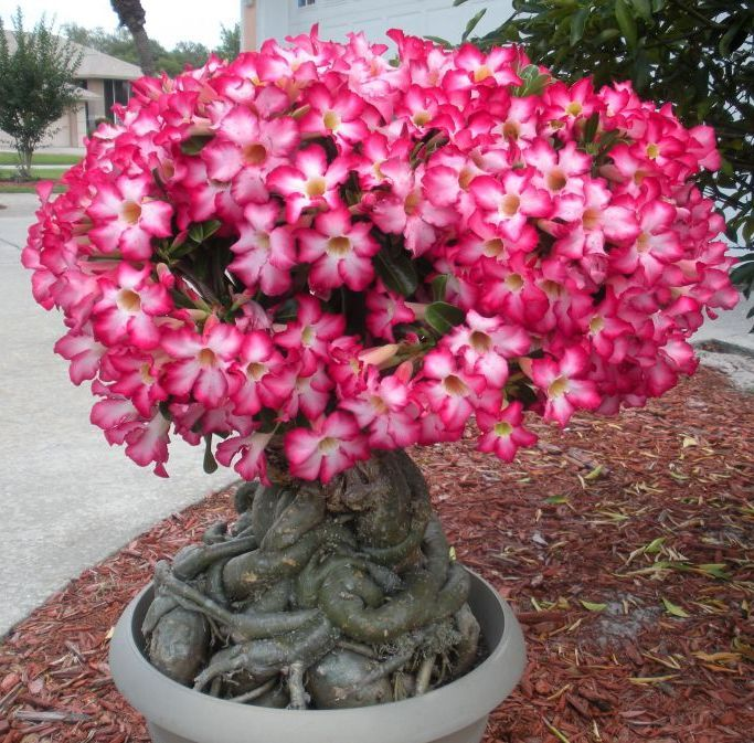 Bonsai Rosa do deserto