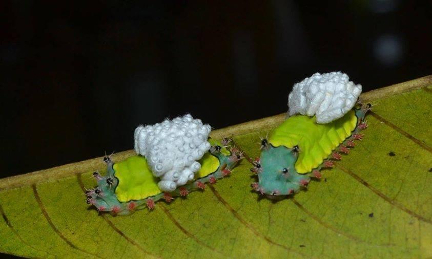 Casulos saindo de uma lagarta