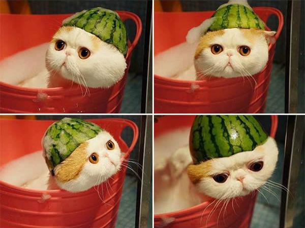 gato-capacete-melancia-2