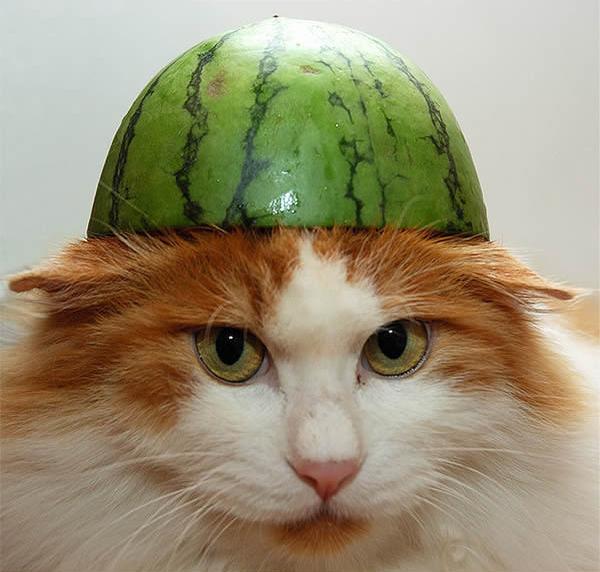 gato-capacete-melancia-3