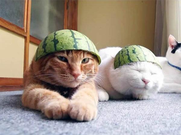 gato-capacete-melancia