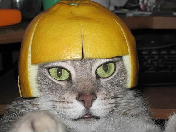 gato-loira-curtinho