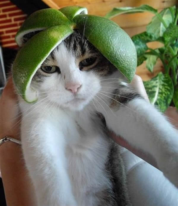 Gato penteado verde