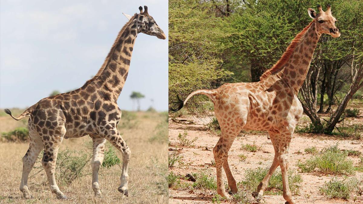 Girafas anãs