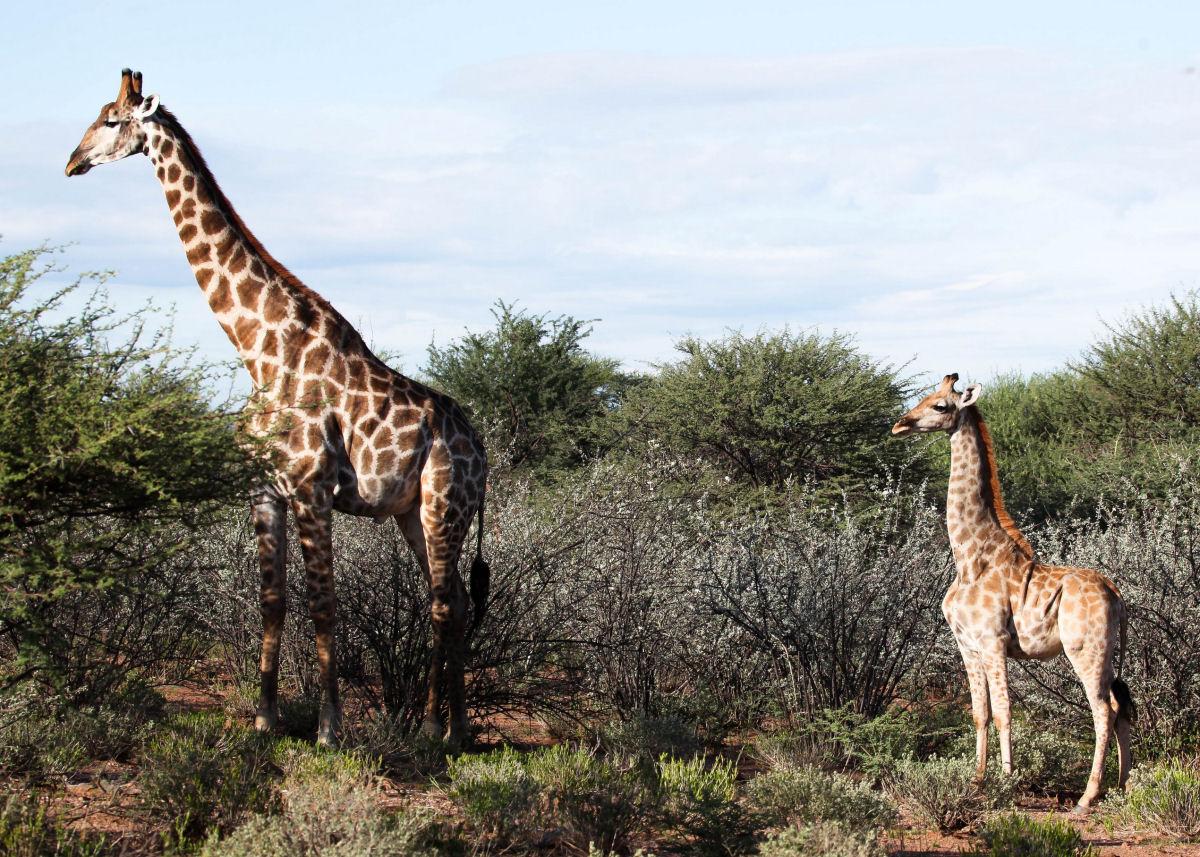 Girafas com nanismo