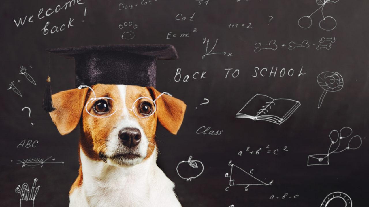 Raça de cachorro inteligente