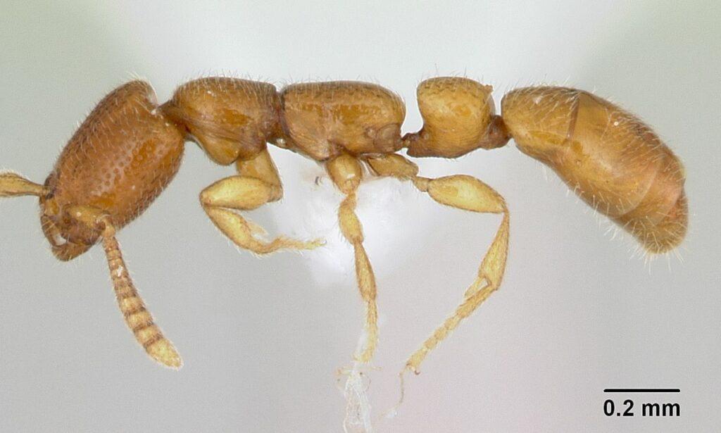 Formigas Adetomyrma