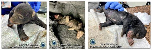 Três ursas recém-nascidas